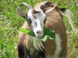 бизнес на козах