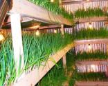 выращивание зеленого лука бизнес